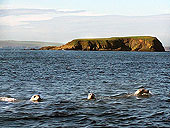 Seals at Deerness